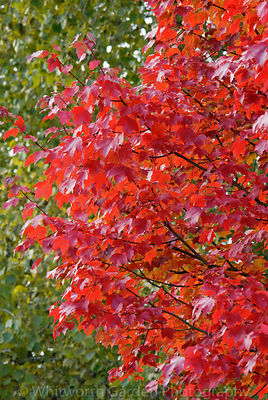 Acer rubrum 'October Glory'. © Rob Whitworth