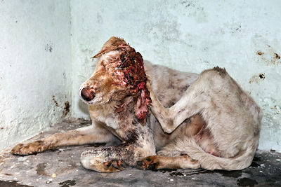 Mojo, a stray dog with a severe head wound, recuperates at the Tree of Life for Animals rescue center in Pushkar, India