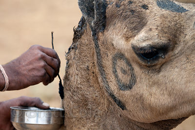 A man paints his camel in Pushkar, Rajasthan, India