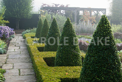 Clipped box cones rise from a frame of golden box in the Formal Garden, with vine draped pergola beyond. Waterperry Gardens, ...