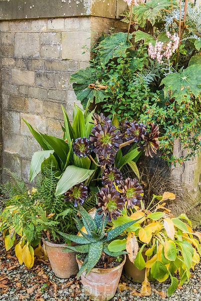 Collection of pots containing succulents, cacti, ferns, cuphea, begonia and aspidistra. Bourton House, Bourton-on-the-Hill, M...