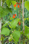 Runner bean 'Achievement'. Clovelly Court, Bideford, Devon, UK