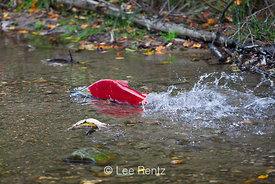 Sockeye Salmon Migrating Upstream Through the Shallows