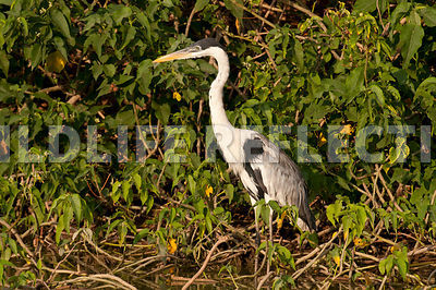 white_necked_heron_marsh-09021304