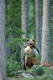 Accouplement d'ours