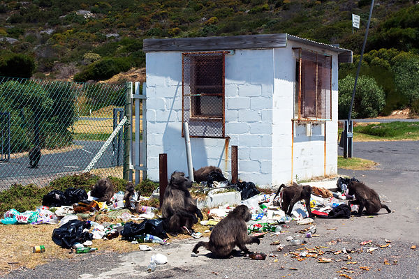 Chacma baboons from the Smitswinkel troop eat garbage left by a local boat club at the Miller's Point tidepools, Cape Peninsu...