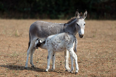 Baby donkey nursing in a farm field near Kadel Village, Pushkar, Rajasthan, India