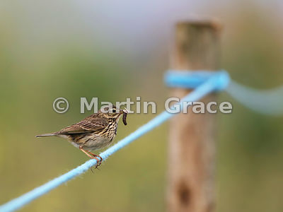 Meadow Pipit (Anthus pratensis) with a leatherjacket (Crane Fly larva) and a moth in its bill, Foulney Island, Cumbria, England