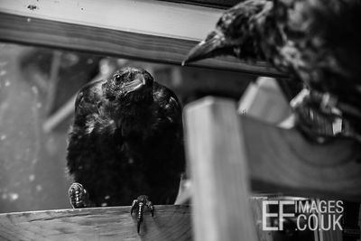 Penney the Crow Noticing Herself in the Mirror