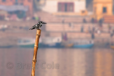 Kingfisher (sp.) on a bamboo perch on the Ganges River, Varanasi, India.