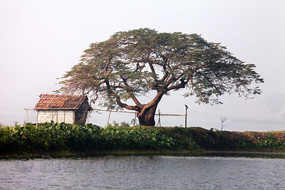A fishing hut and a large tree in the East Kolkata Wetlands, Kolkata, India.