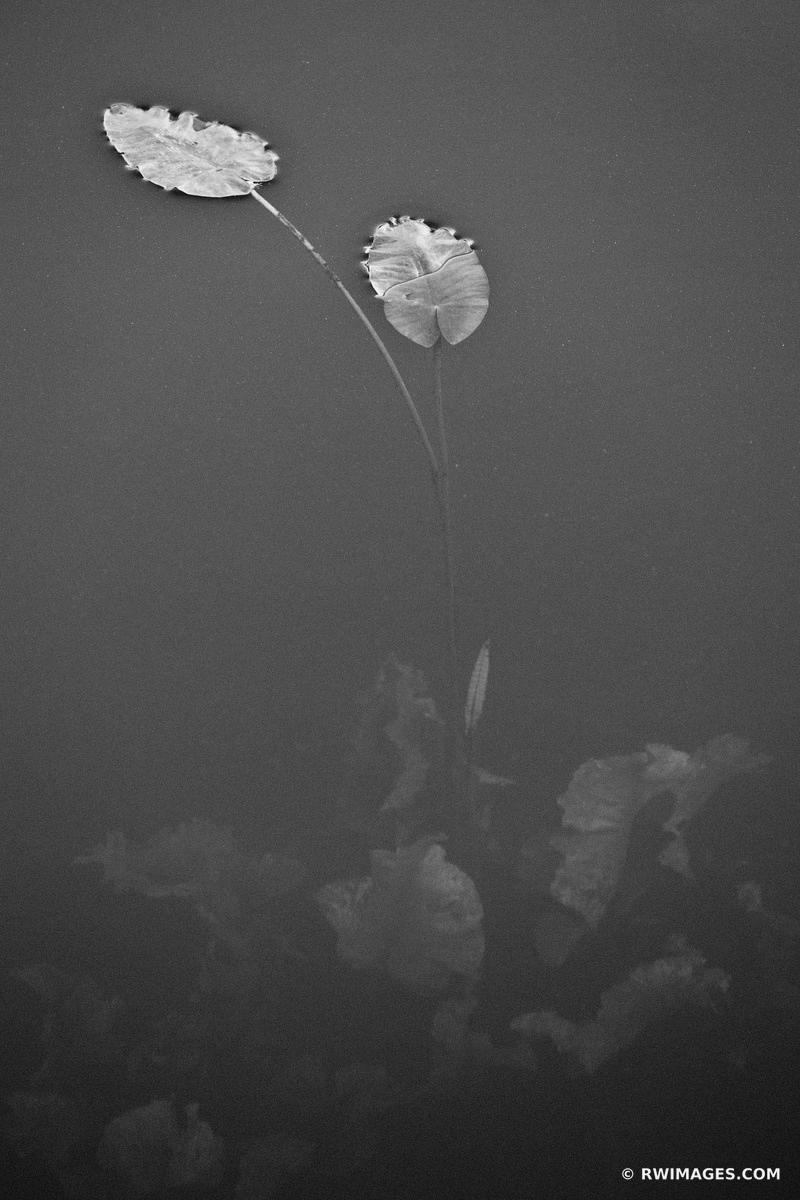 WATER PLANT LEAVES EVERGLADES FLORIDA BLACK AND WHITE