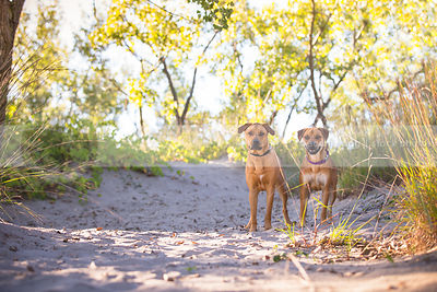 two intense dogs together on sand dune with vegetation