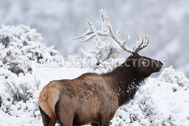 elk_antler_first_snow