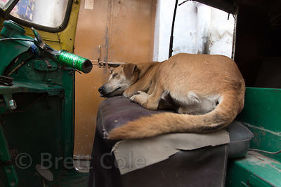 A Pariah street dog sleeps on the seat of an auto rickshaw, Paharganj, Delhi, India