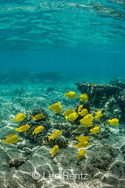 School of Yellow Tang along Coral Reef off Big Island of Hawaii