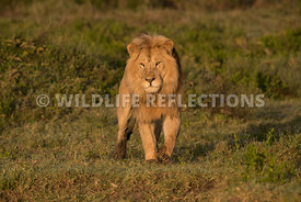 male_lion_forward_ndutu_02202015-1