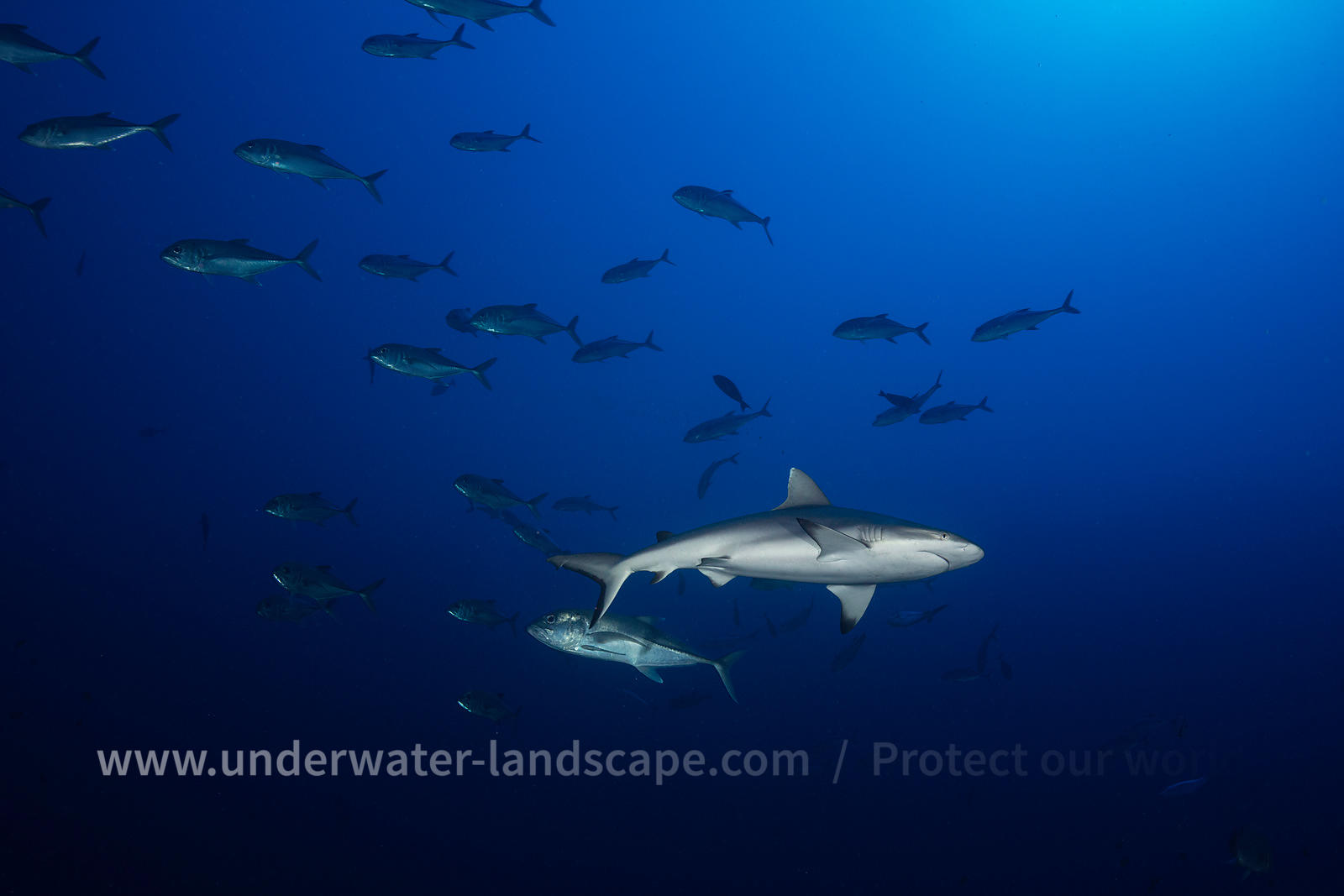 Grey reef shark in deep diving