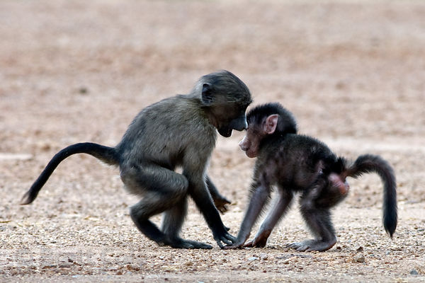 Chacma baboons from the Smitwinkel troop play along the side of the M4 near Gumshoes, Cape Peninsula, South Africa