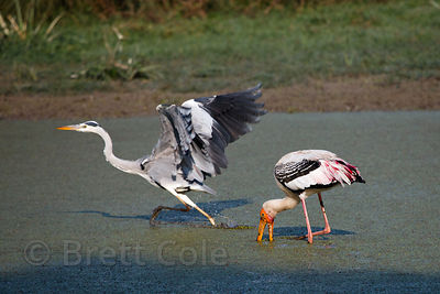 Painted stork (Mycteria leucocephala) and great blue heron (Ardea herodias) hunting, Keoladeo National Park, Bharatpur, India