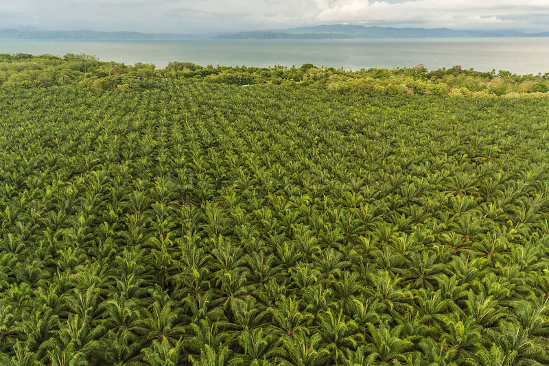 Aerial view of Palm oil (Elaeis sp) plantations along the Pacific coast of Costa Rica, May 2017.