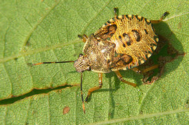 Pentatomatidae species, nymph