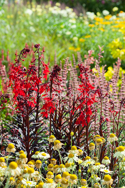 Lobelia cardinalis 'Queen Victoria' in the hot borders that run through the centre of the garden. Helmsley Walled Garden, Hel...