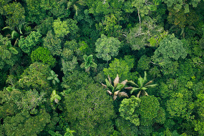 Aerial view of Amazonian canopy, Yasuni National Park, Orellana, Ecuador, March 2012.