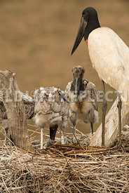 jabiru_stork_nest_close-38