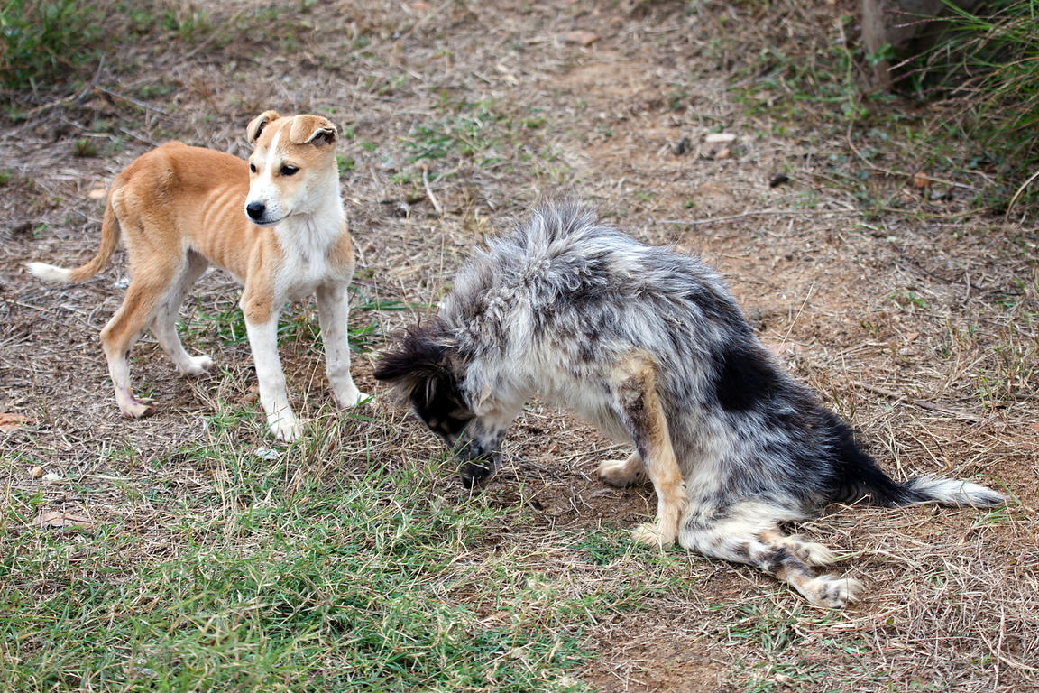 A dog at the Tree of Life for Animals rescue center in Pushkar, India with paralyzed hind legs after being run over by a car