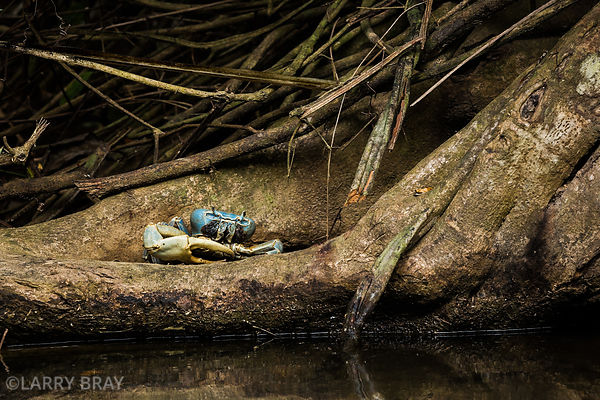 Blue land crab, Dominica