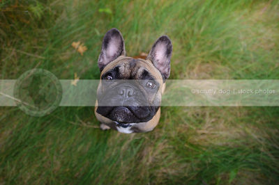 fawn and black french bulldog staring up from grasses