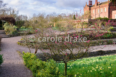Prunus mume 'Beni-chidori' on a bank dotted with naturalised daffodils at Hodsock Priory, Blyth, Notts