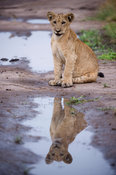 Lion cub drinking (Panthero leo), Queen Elizabeth National Park, Uganda