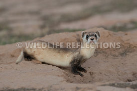 ferret_preburrow_pose-10