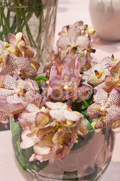 Vanda 'Cognac Beauty', bicolore