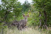 Greater kudu (Tragelaphus strepsiceros), Mapungubwe National Park, South Africa