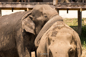 Elephants at Elephant's World, a 'retirement home' for elephants in Thailand.