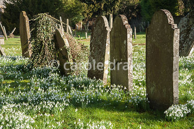 Naturalized snowdrops, Galanthus nivalis, in the churchyard of St Gregory's Church backing on to Welford Park, Newbury, Berks...