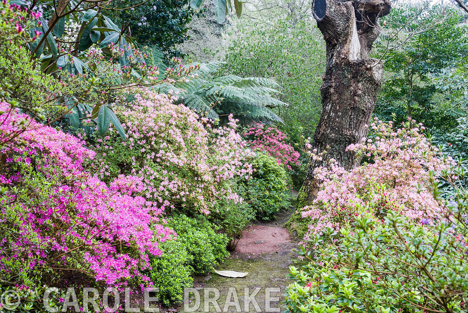 Banks of azaleas, both evergreen and deciduous, flower from all sides in the woodland garden. Greencombe Garden, Porlock, Som...