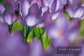 Crocus (crocus)  - Europe, Germany, Bavaria, Upper Bavaria, Munich - digital