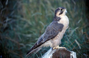 Lanner falcon, Falco biarmicus,  Northern Cape, South Africa