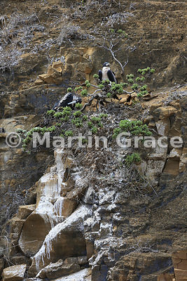 Pair of Great Frigatebirds (Fregata minor ridgwayi) at their tree nest high up the cliff face at Punta Pitt, San Cristobal, G...