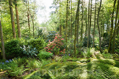 Woodland garden full of rhododendrons, pieris, camellias and azaleas that enjoy the area's acid soil. Windy Hall, Windermere,...
