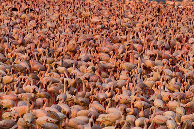 Lesser flamingo (Phoeniconaias minor) large group, aerial view, Bogoria Game Reserve, Kenya