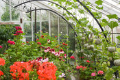 Netted melons hang above pelargoniums in restored Victorian glasshouse. Clovelly Court, Bideford, Devon, UK