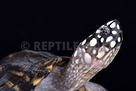 Spotted pond turtle (Geoclemys hamiltonii )