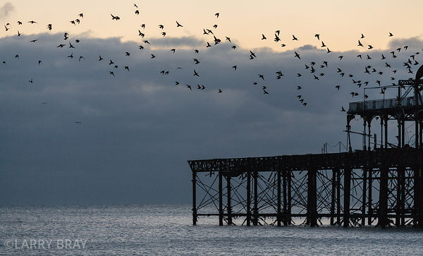 Starlings and West Pier silhouetted against the sky Brighton, East Sussex, UK