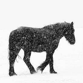 AMISH HORSE IN A BLIZZARD