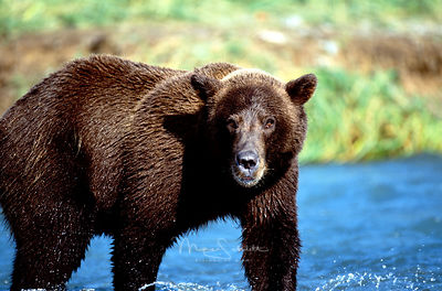 Alaska_Bear_full_in_water_looking_at_me